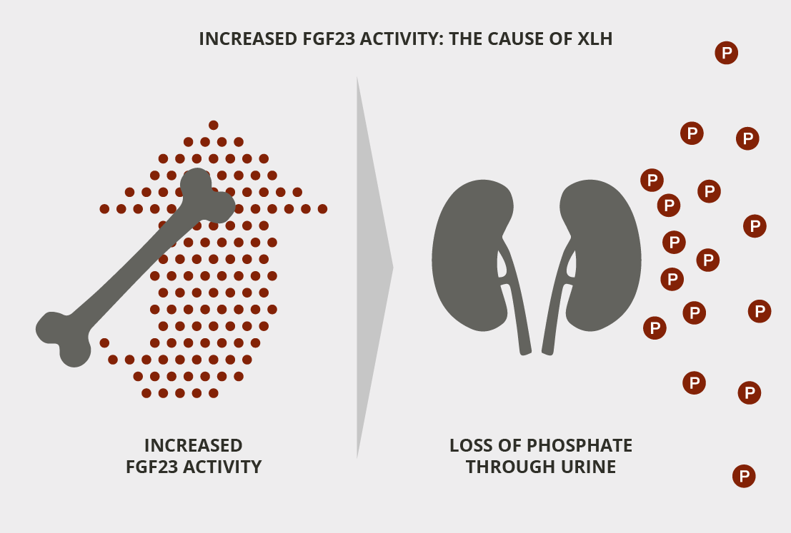 Increased FGF23 activity is the cause of XLH